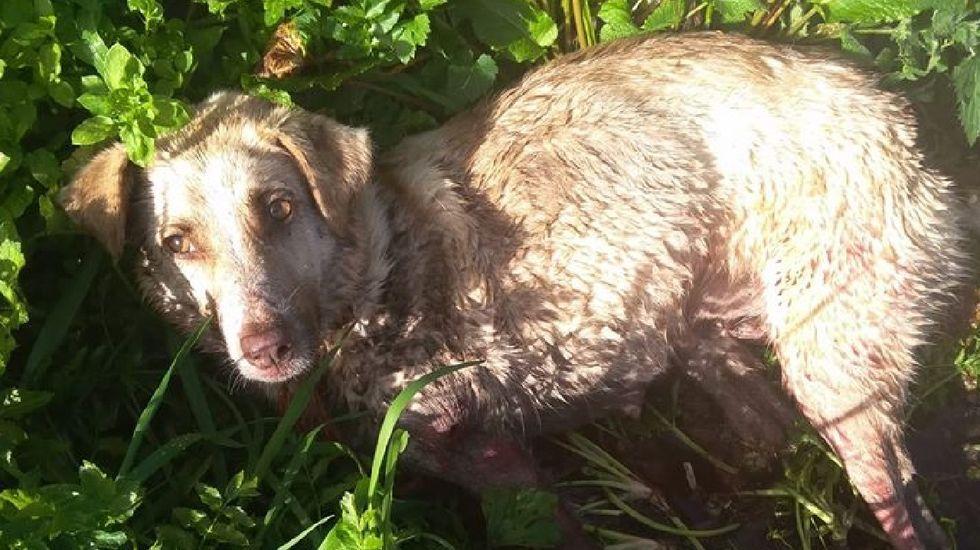 «Soy un cazador y disparo a quien me sale de los cojones»: Muere Alma, la perra maltratada por el cazador de Chantada a la que disparó, golpeó y arrastró brutalmente tras dar a luz a seis cachorros